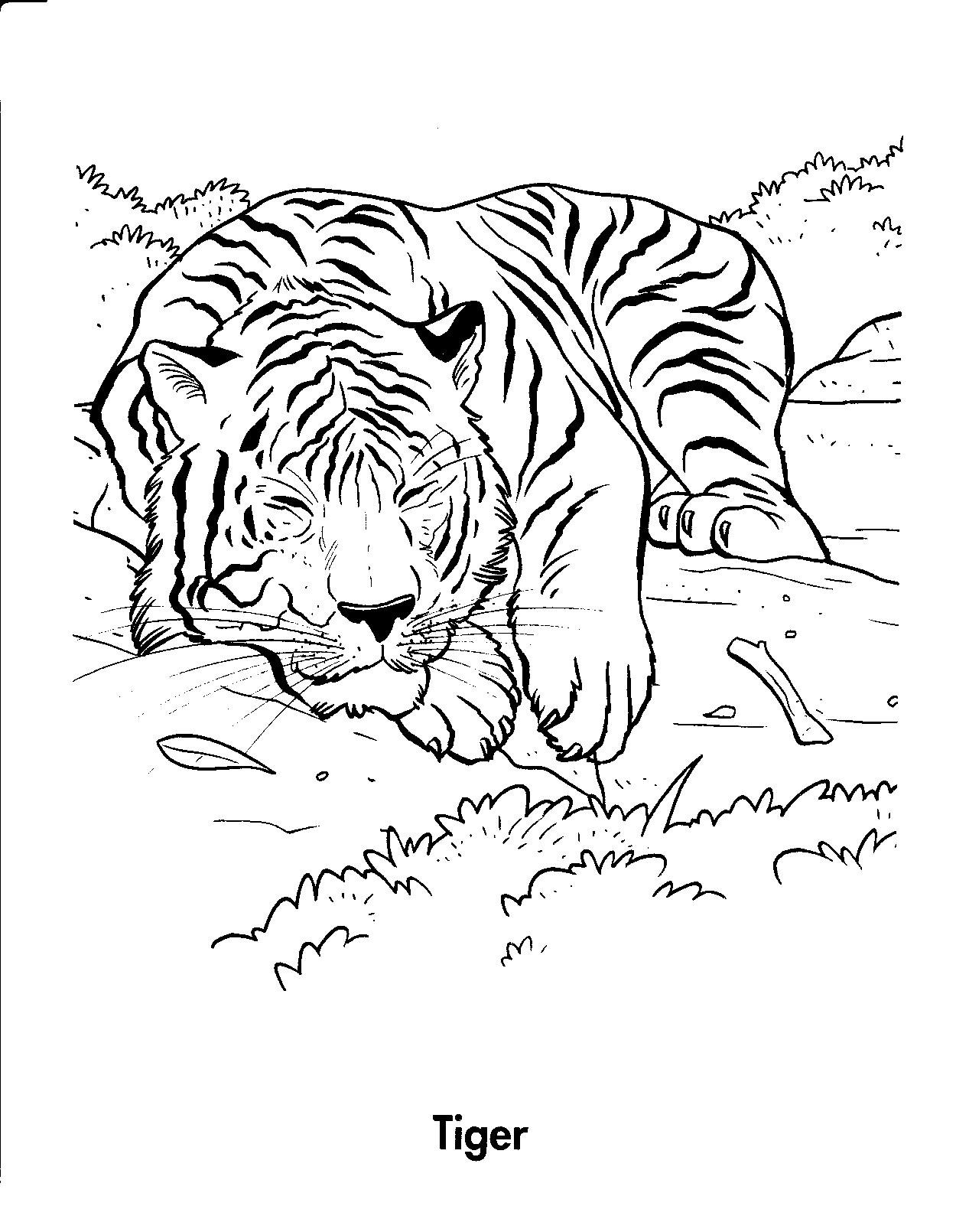 """Раскраски """"амурский тигр"""" скачать и распечатать бесплатно"""