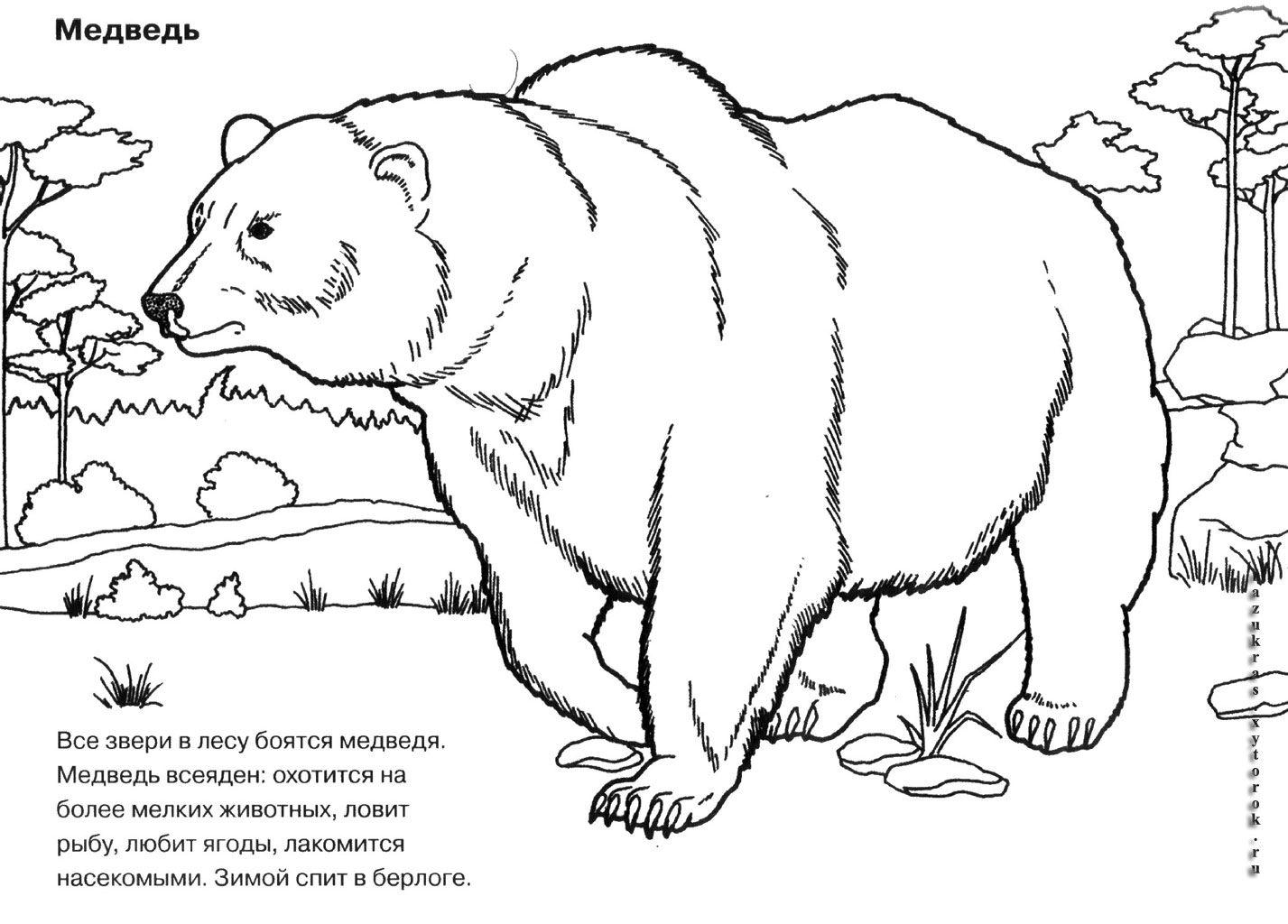 """Раскраски """"медведь в берлоге"""" скачать и распечатать бесплатно"""