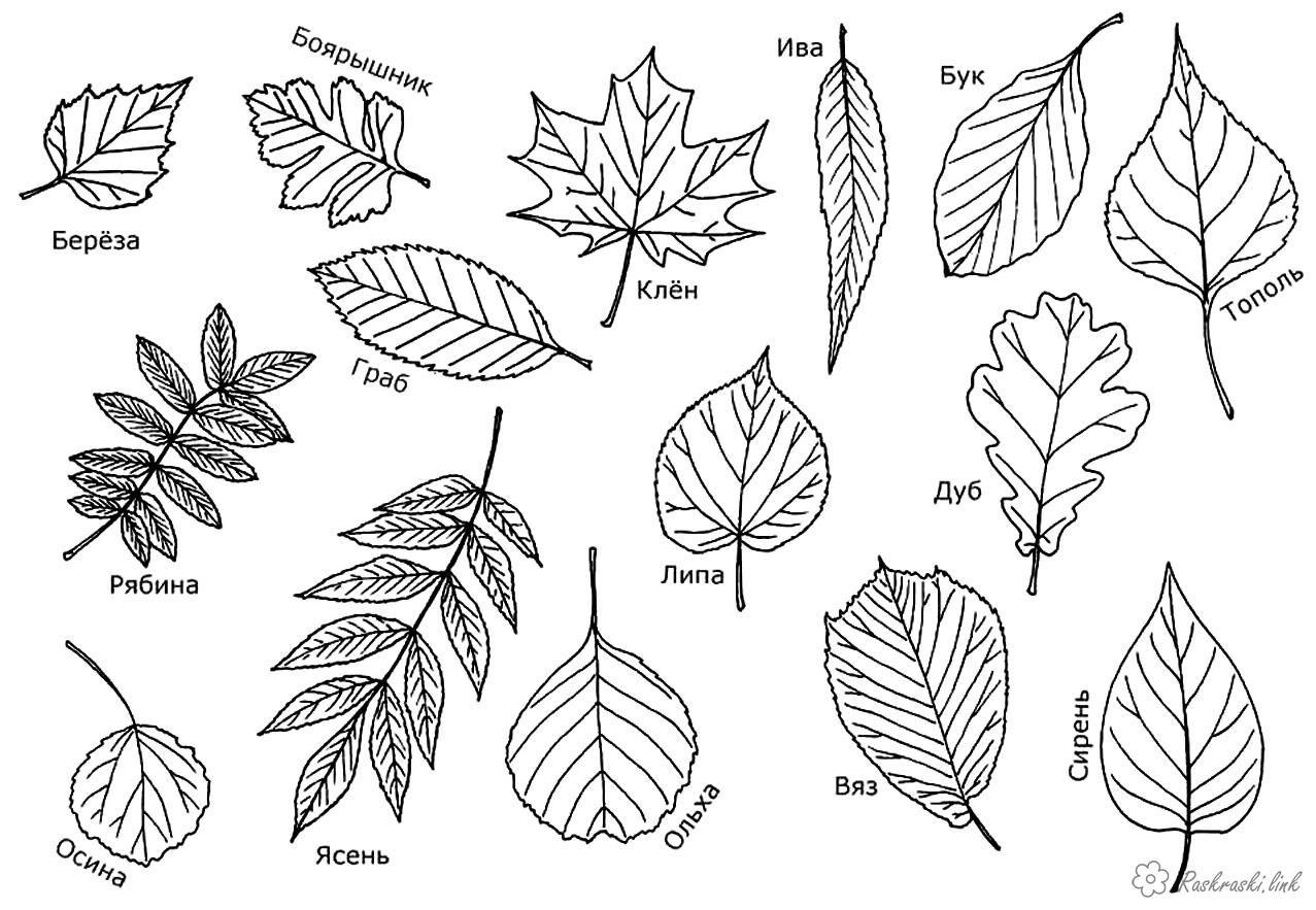 Форма листя дерев фото 8 фотография